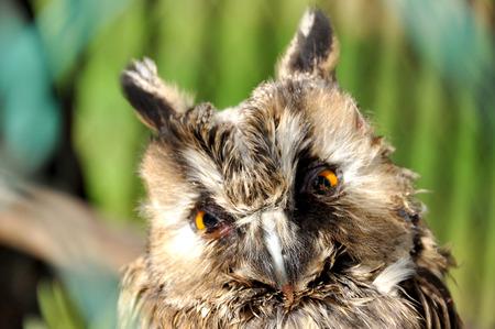 dense forest: Small Owl in the reserve Belovezhskaya dense forest in Belarus