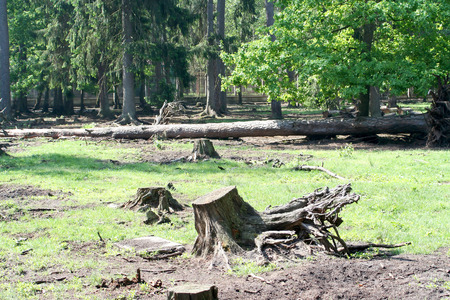 etude: Root and stub of the large tree cut in the wood on a glade Stock Photo