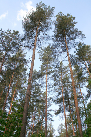 etude: High pine in the reserve Bialowieza Forest in Belarus