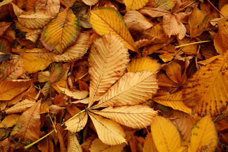 tonality: Carpet from autumn leaves of a chestnut of a yellow tonality