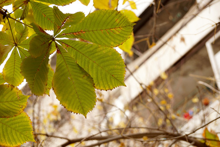 etude: Autumn etude with leaves of a chestnut tree