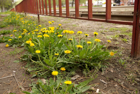 etude: City Dandelions on a lawn in the central park