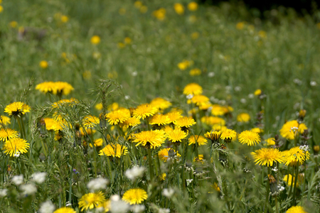 supervisión: Thickets of the blossoming flowers of dandelions in city conditions