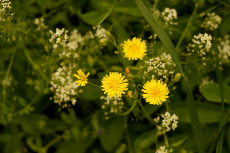 supervisión: Yellow wild flowers on a lawn in the yard of an inhabited town house Foto de archivo