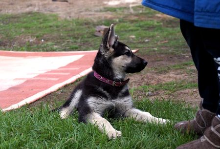 Young puppy of breed East European sheep-dog