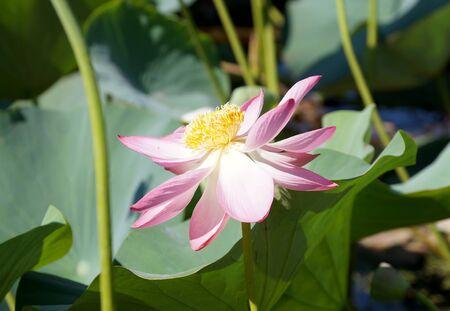 Lotus flower in a small reservoir in the territory of the Volgograd region 版權商用圖片