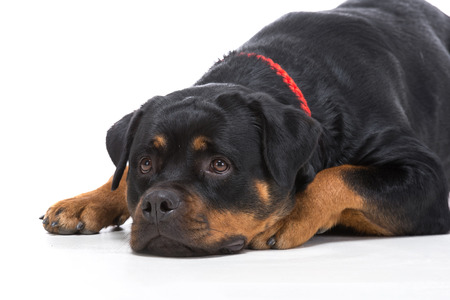 rotweiler: Portrait of a purebred rottweiler with red thong on a white background.