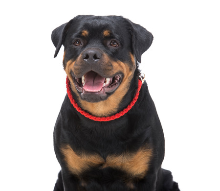 rottweiler: Portrait of a purebred rottweiler with red thong on a white background.