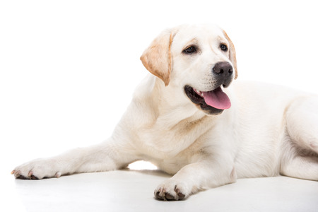 Cute white labrador retriever dog isolated on white background. Stock Photo
