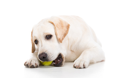 Labrador is playing with a ball on a white background. photo