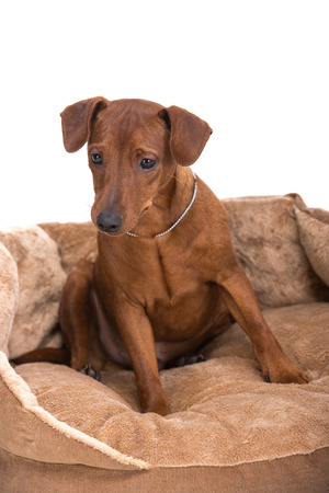 brown dobermann: Image pinscher on a brown cushion for dogs on a white background.