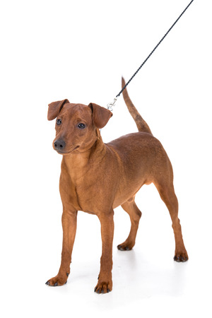 brown dobermann: Brown pinscher on leash isolated on a white background Stock Photo
