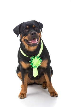 rotweiler: Portrait of a purebred rottweiler in front of white background. Stock Photo