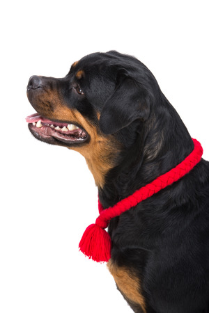 rotweiler: Rottweiler portrait with red lace in profile on the white background. Stock Photo