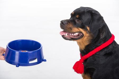 rotweiler: Rottweiler with red lace and dog bowl, in profile, on the white background. Stock Photo