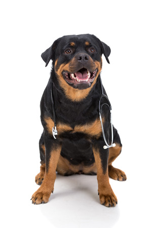 rotweiler: Rottweiler with stethoscope around neck, isolated on white background.