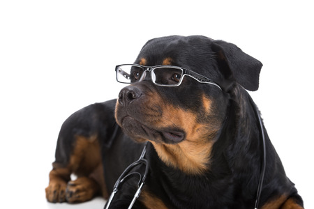 rotweiler: Rottweiler with stethoscope around neck and glasses isolated on white background.