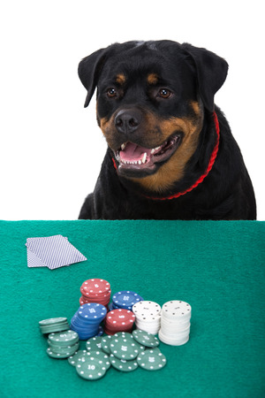 rotweiler: Portrait of rottweiler is  playing poker on a white background.
