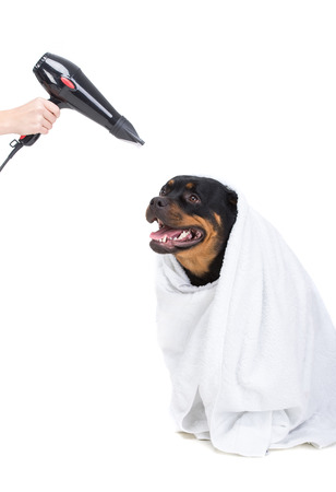 rotweiler: Labrador after bathing. Dry the hair dryer, on the white background.