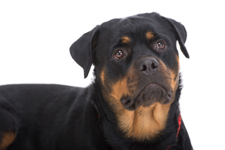 rotweiler: Close-up cute beautiful rottweiler on a white background.