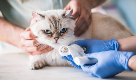 귀여운 고양이는 수의사에 의해 붕대가 발을 가지고있다. 스톡 콘텐츠