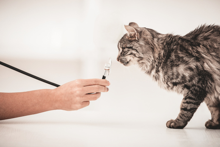Close up.Nice beautiful cat in veterinary clinic sniffing stethoscope.Cat inspection by veterinarian