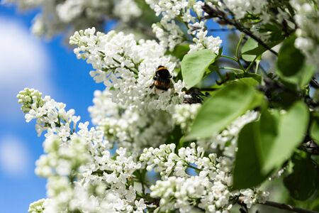 Lilac flowers are blooming. In spring, a white lilac bush blooms.