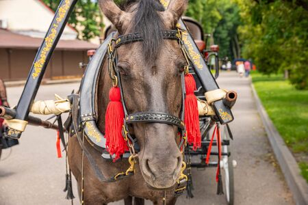 Head of a brown horse with a harness in a city park Stockfoto