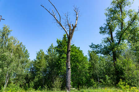 The dead tree on a background of green forest. Ecology concept.