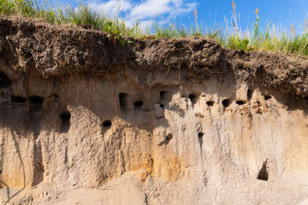 Nesting place for the Sand Martin, or Bank swallows - Riparia riparia - nest colony