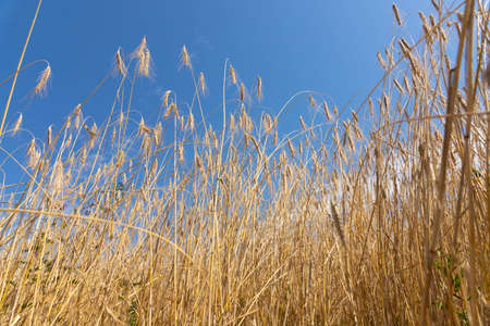 Business growth concept. The golden ears of wheat syvolize profit and wealth.