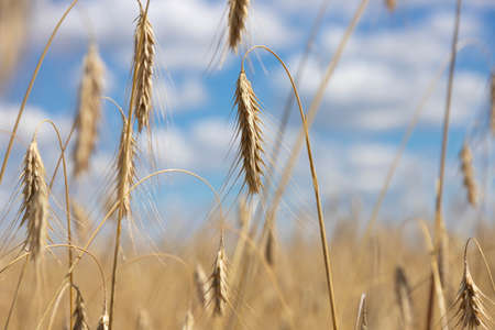 Wheat field. ears of golden wheat close up. Beautiful nature. Landscape. Rural landscapes in shining sunlight. Background of ripening meadow wheat field ears. Rich harvest concept