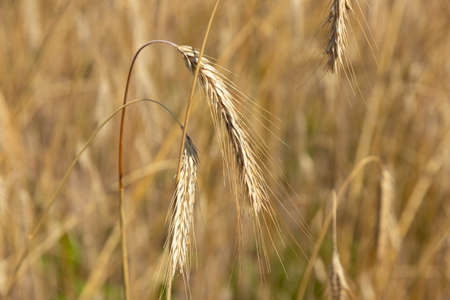 Golden grains of wheat, the concept of abundance and high yield after a successful harvest.