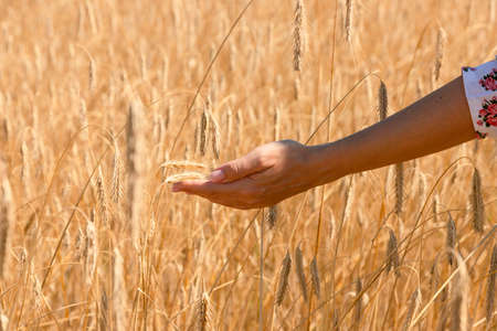 Grains in the hands of a farmer against the background of a wheat field. Harvesting. Agricultural theme. 스톡 콘텐츠