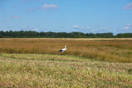 Feeding white stork in the meadow in the wild.