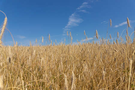 An agrarian country, a leader in the production and cultivation of wheat. 스톡 콘텐츠
