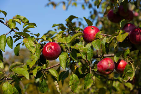 Ripe and juicy red apples suspended on a tree