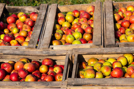 Ripe red apples in large wooden boxes during fruit picking day. Selective focus.