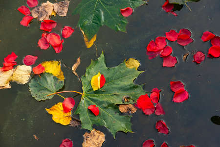 Maple multicolored leaves float on the water. October.