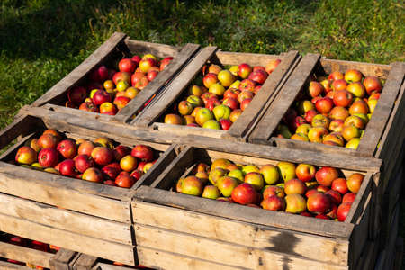 Ripe red apples in large wooden boxes during fruit picking day. Selective focus. Archivio Fotografico - 156551041