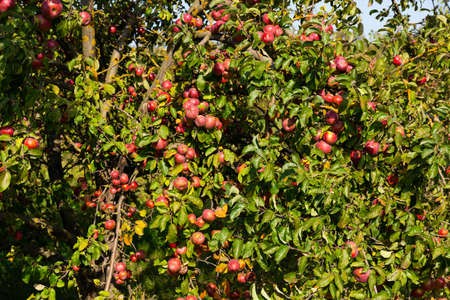 Ripe and juicy red apples are suspended from a tree. Selective focus