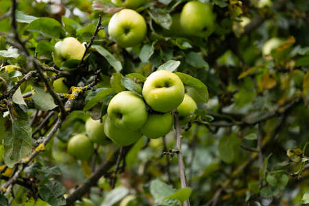 Juicy green apples on tree branches in an orchard. Selective focus