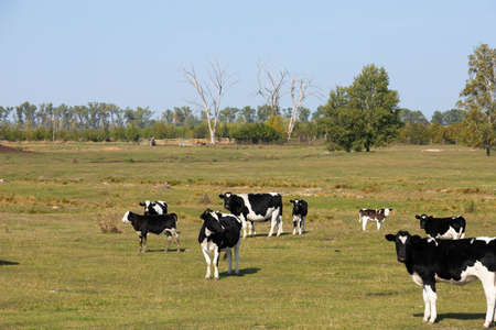 White and black cows in a pasture, meadow.