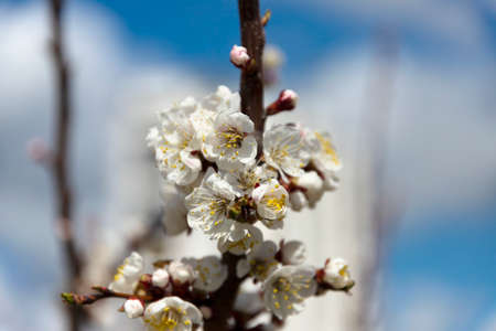 Blossoming, apple tree buds. Close-up. Selective focus.