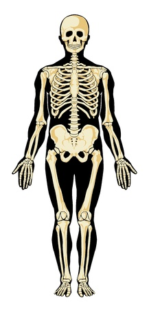 Human skeleton in separate layers.