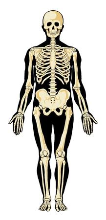 Ludzki szkielet w osobnych warstwach. Ilustracje wektorowe