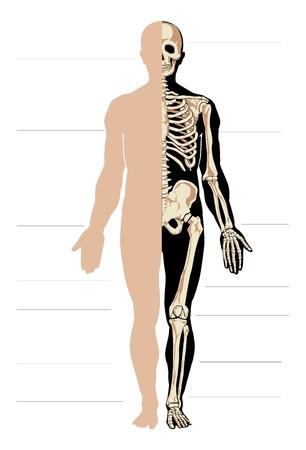 finger bones: Vector body and skeleton. Male.Separate layers Illustration