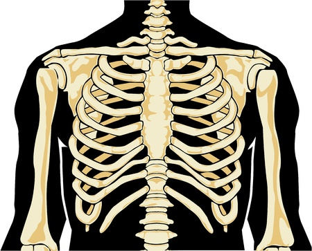 sternum: Human anatomy. Chest. Vector illustration.