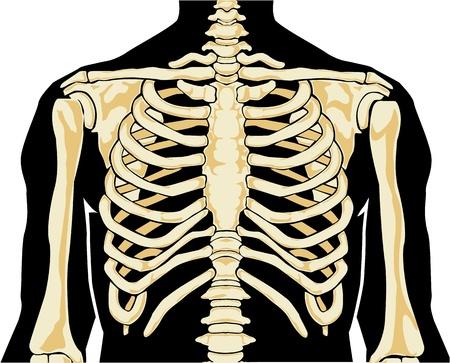 esqueleto humano: La anatomía humana. En el pecho. Ilustración del vector.