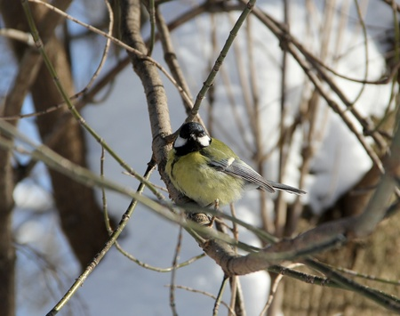 tomtit: Tomtit  sitting  on a branch